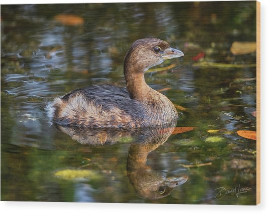 Wood Print featuring the photograph Little Pied-billed Grebe by David A Lane