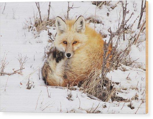 Little Red Fox Wood Print
