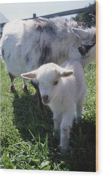 Little White Goat Wood Print