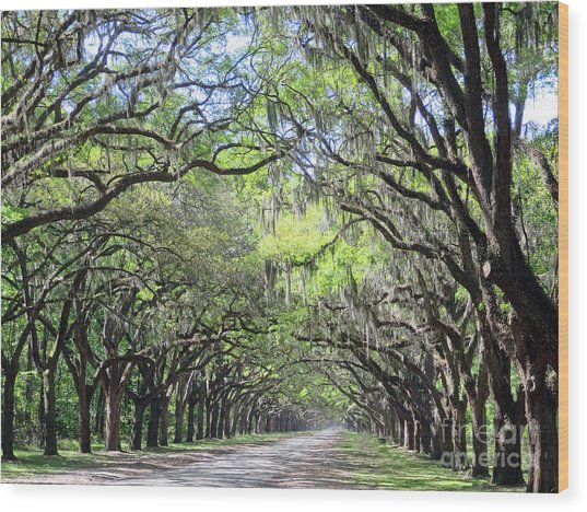 Live Oak Canopy Wood Print