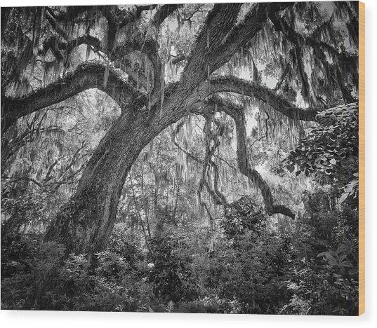 Live Oak Wood Print