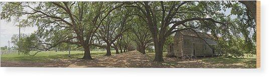 Live Oaks Panorama Wood Print