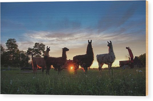 Llamas At Sunset Wood Print