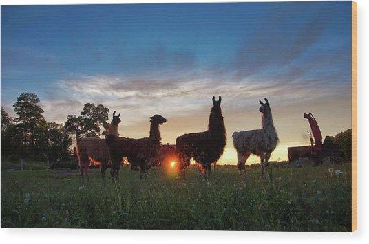Llamas At Sunset Wood Print