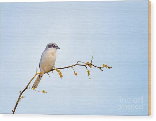 Loggerhead Shrike Wood Print by Emily Bristor