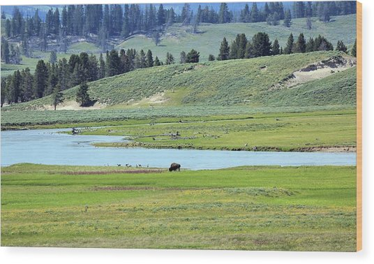 Lone Bison Out On The Prairie Wood Print