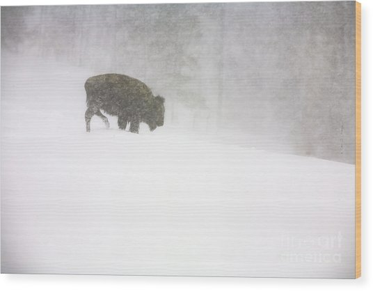 Lone Buffalo Bull In Winter Storm Wood Print