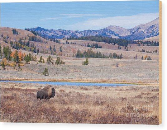 Lone Bull Buffalo Wood Print