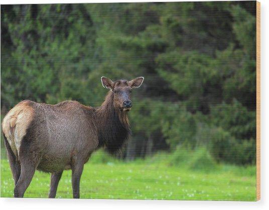 Lone Elk At Ecola State Park Wood Print