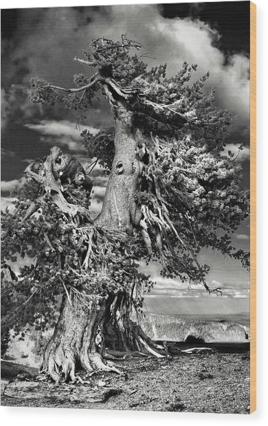 Lone Gnarled Old Bristlecone Pines At Crater Lake - Oregon Wood Print