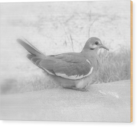 Lonely Dove Wood Print
