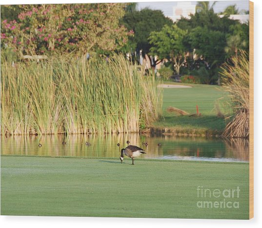 Lonely Goose On The Golf Course Wood Print