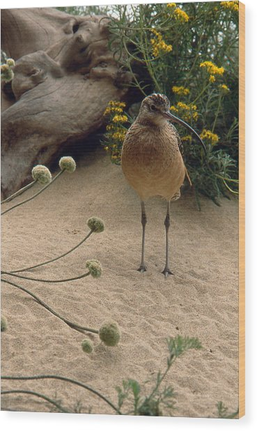 Long Billed Sandpiper Wood Print