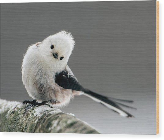 Charming Long-tailed Look Wood Print