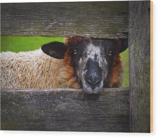 Wood Print featuring the photograph Lookin At Ewe by Skip Hunt
