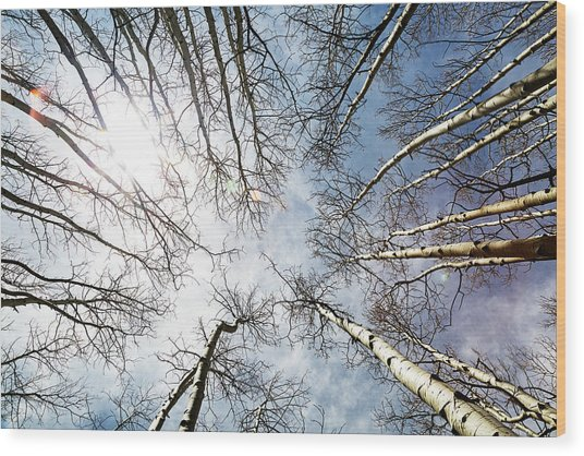 Looking Up On Tall Birch Trees Wood Print