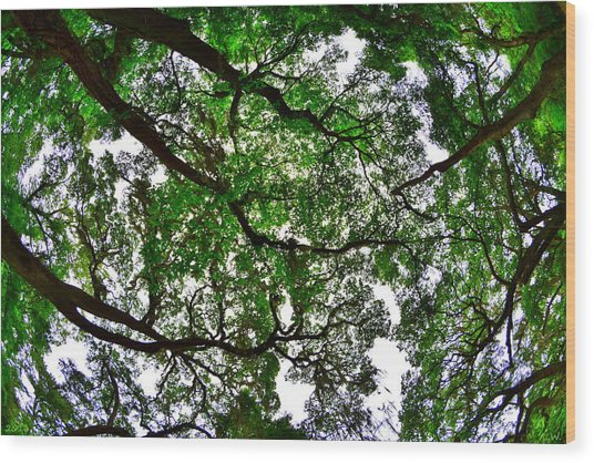 Looking Up The Oaks Wood Print