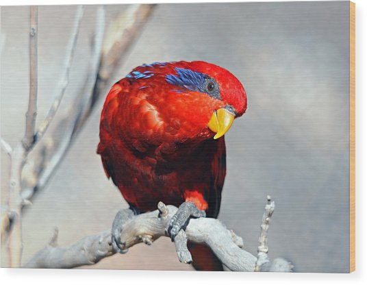 Lorikeet 1 Wood Print