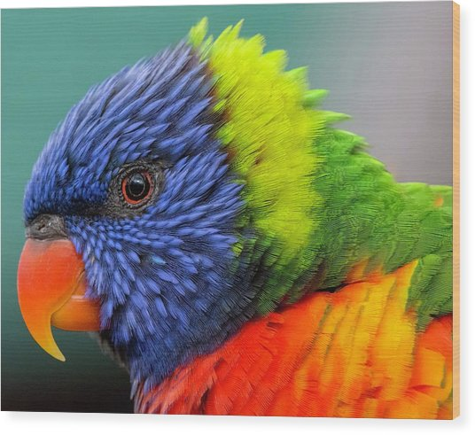 Wood Print featuring the photograph Lorikeet Portrait by Rand