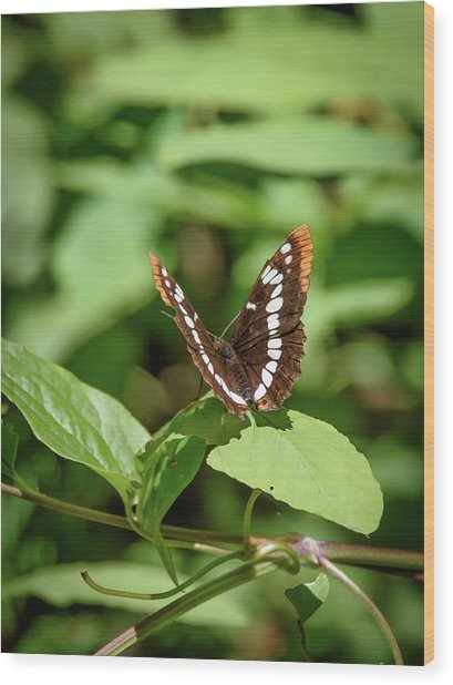 Lorquin's Admiral Butterfly Wood Print
