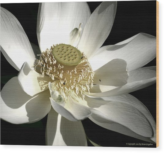 Lotus 8514ds Wood Print