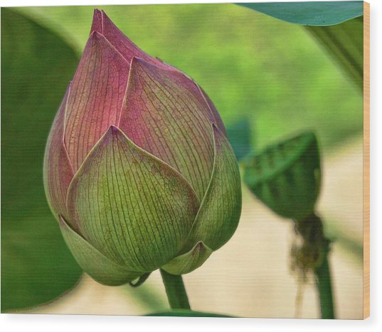 Lotus Dreaming 3 Wood Print