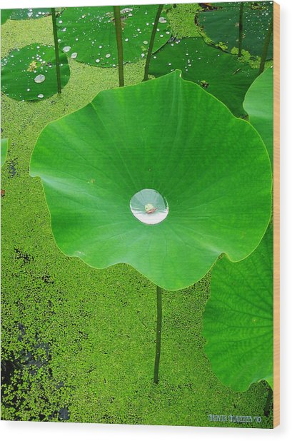 Lotus Pond Wood Print by Garth Glazier