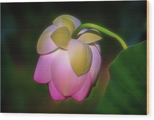 Wood Print featuring the photograph Lotus, Upside Down  by Cindy Lark Hartman