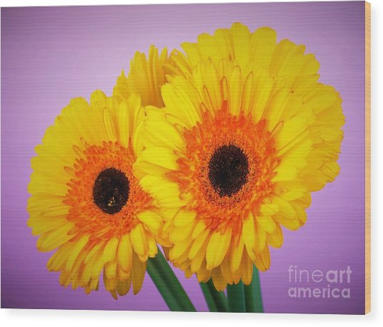 Lovely And Beautiful - Gerbera Daisies Wood Print