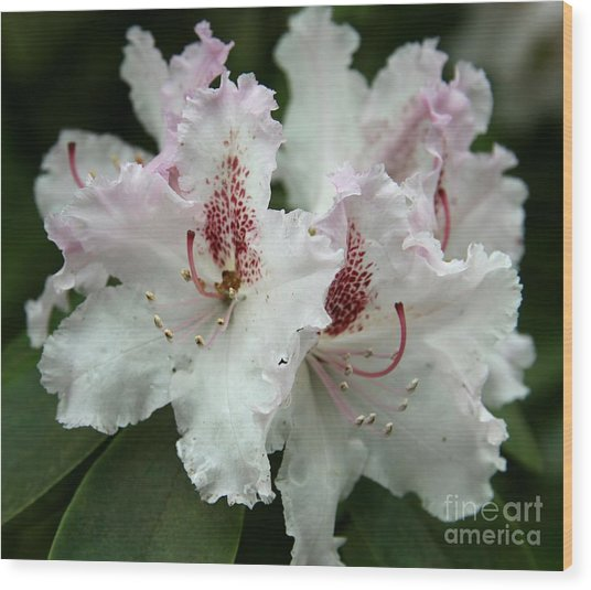 Lovely Blossoms Wood Print by Christiane Schulze Art And Photography