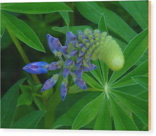 Lupin In Bloom Early Spring Wood Print by Jeremy Wolff