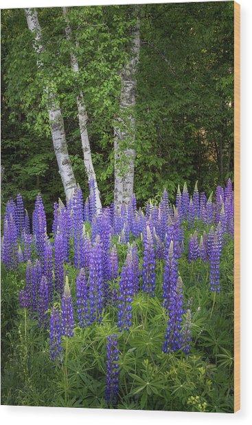 Lupine And Birch Tree Wood Print