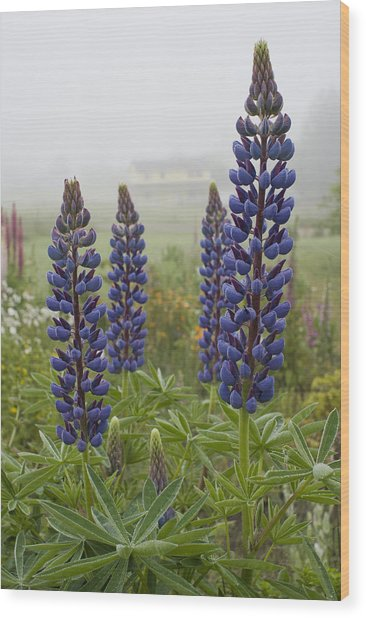 Lupine In The Fog Wood Print