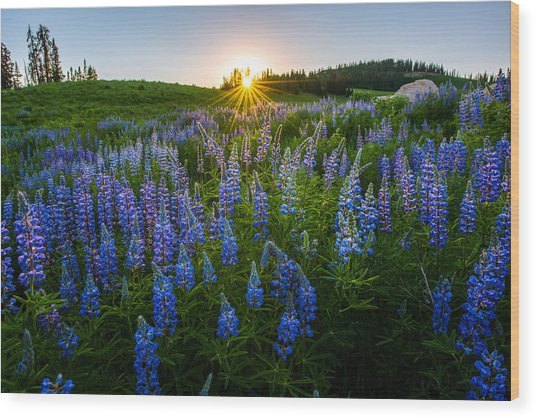 Lupine Meadow Wood Print