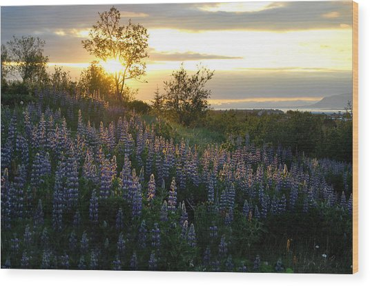 Lupine Sunset Wood Print by Marilynne Bull