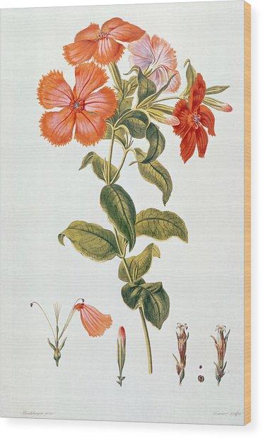 Lychnis Coronaria Wood Print