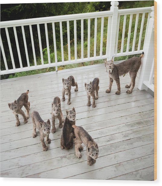 Lynx Family Portrait Wood Print