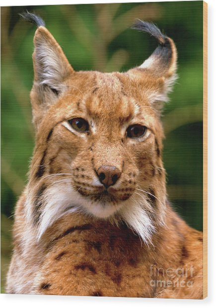 Lynx Portrait Wood Print
