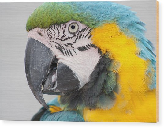 Macaw Head Plume Beauty Wood Print