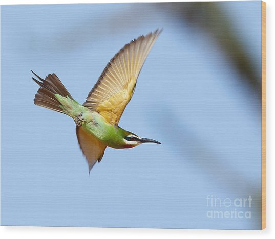 Madagascar Bee Eater In Flight Wood Print