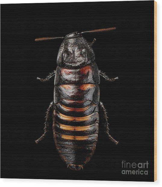 Madagascar Hissing Cockroach Wood Print