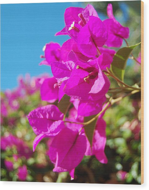 Magenta Bougainvillea Wood Print by Jean Booth