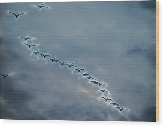 Magical Tundra Swan Fly-over Wood Print