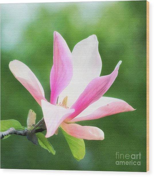 Magnificent Daybreak Magnolia At Day's End Wood Print