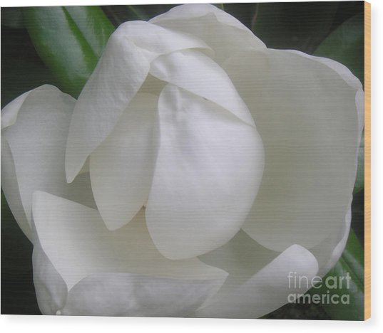 Magnolia Begins Its Blooming Wood Print by Lucyna A M Green