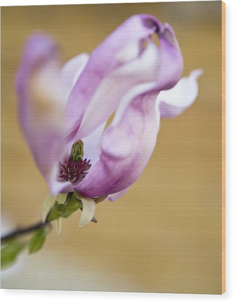 Magnolia Flower Wood Print by Frank Tschakert