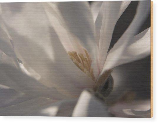 Magnolia Stellata IIi Wood Print