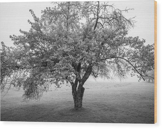 Maine Apple Tree In Fog Wood Print