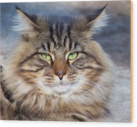 Maine Coon I Wood Print
