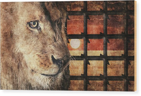 Majestic Lion In Captivity Wood Print